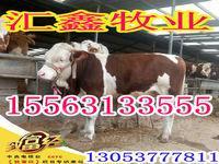 鲁西黄牛苗西门塔尔牛种牛价格