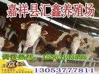 贵阳鲁西黄牛种牛哪里可以买到肉牛价格
