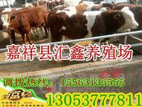 育肥肉牛犊种牛_育肥肉牛犊种牛