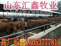 养殖肉牛犊_养殖肉牛犊