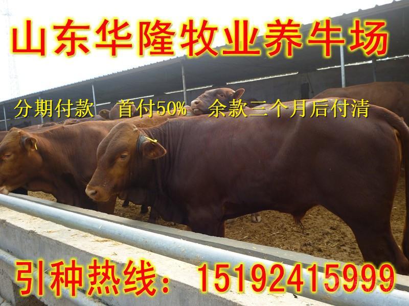 鲁西黄牛种牛报价