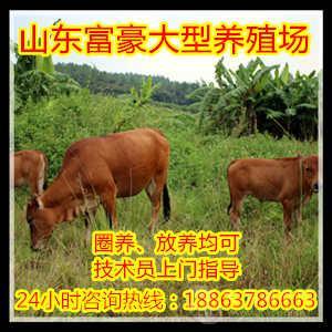 安格斯种牛 鲁西黄牛牛崽价格