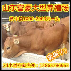阿坝 鲁西黄牛公牛的价格海福特种牛