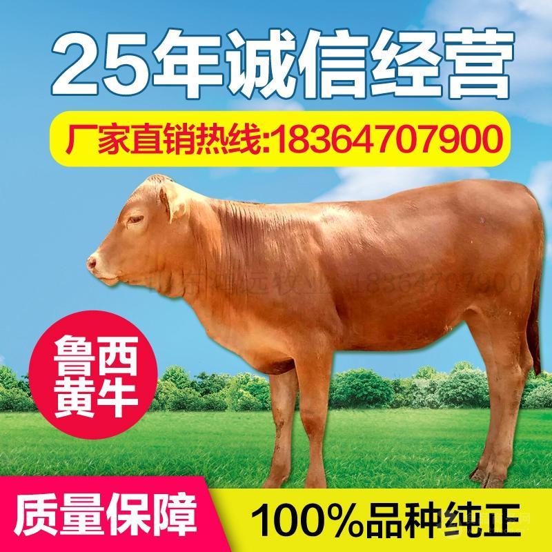 湖南冷水江改良黄牛养殖场