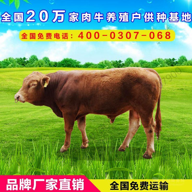 山东鲁西黄牛种牛犊价格