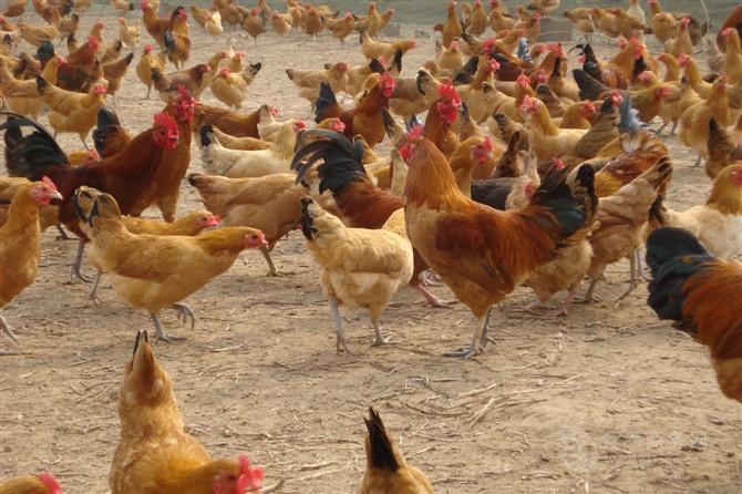 供应固始鸡苗,黑土鸡苗,绿壳蛋鸡苗
