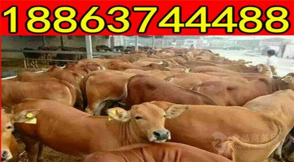 利木赞牛的种牛