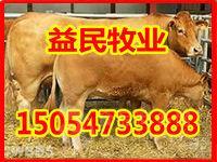 广东清远大型养牛基地