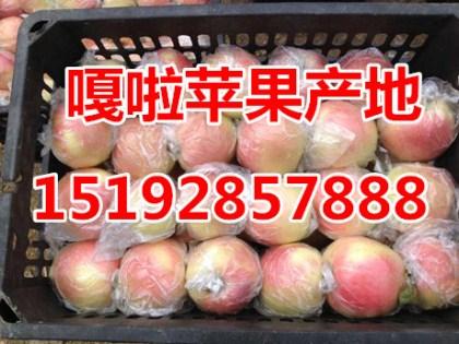 山东省嘎啦苹果现在价格