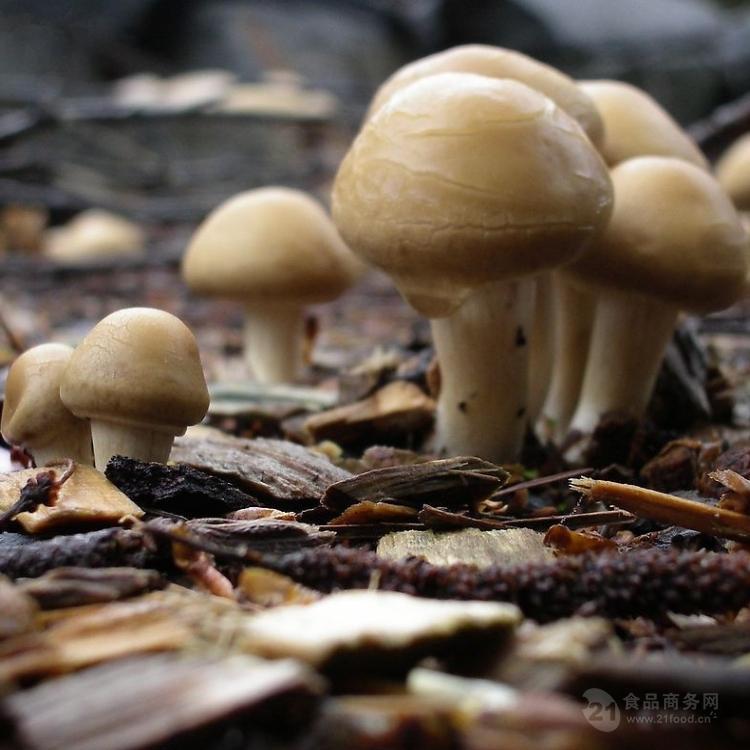 巴西蘑菇粉 姬松茸浓缩粉 姬松茸提取物粉