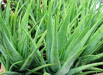 芦荟甙20% 优质芦荟提取物 厂家现货供应芦荟苷