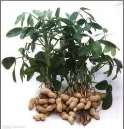三原天域生物 木犀草素98%纯天然花生壳提取物