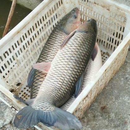 北京优质淡水鱼苗批发 草鱼苗出售价格