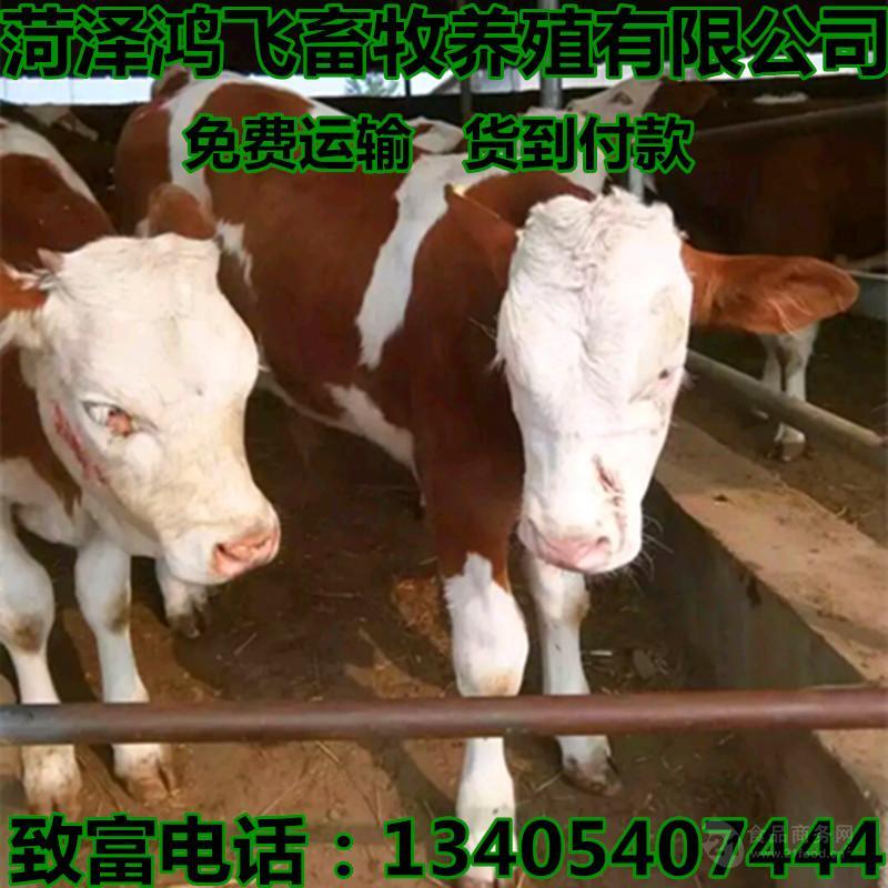 山东小牛犊多少钱一头