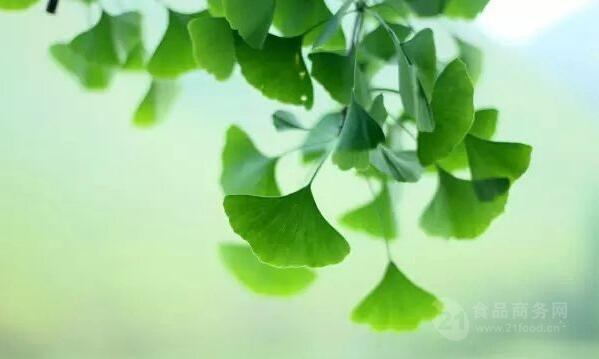 银杏树叶的作用_银杏叶提取物的功效与作用_湖北__植物提取物-食品商务网
