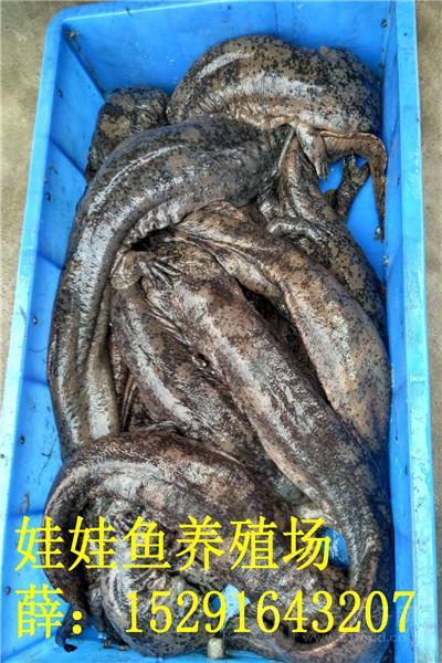 2017年娃娃鱼价格金九银十