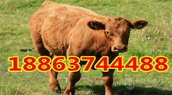 福建适合养什么品种牛