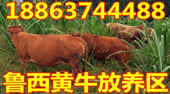 四川西门塔尔肉牛