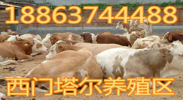 购买肉牛种牛