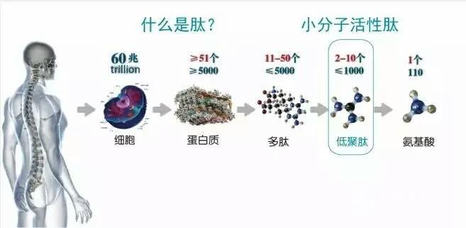 分子肽一般由2~10个氨基酸组成,拥有很多独特的生物活性,是蛋白质结构