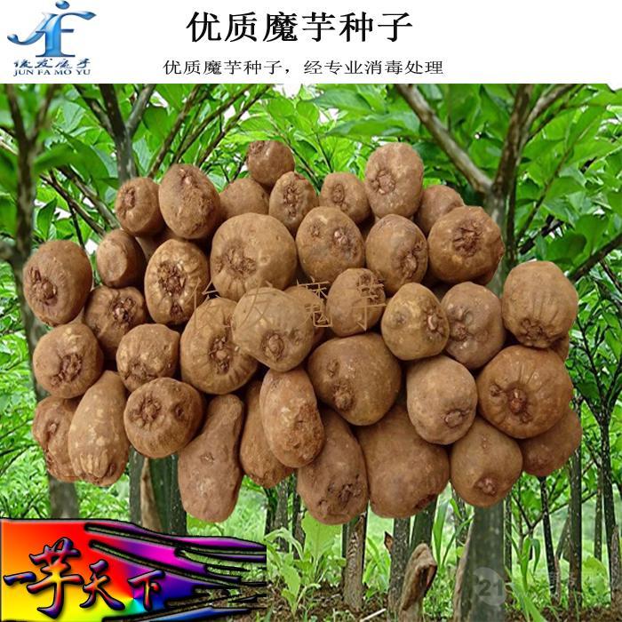 魔芋种子_魔芋种子 种植基地直销批发 送种植技术