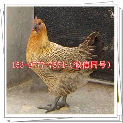 甘谷鸡苗价格鸡肉