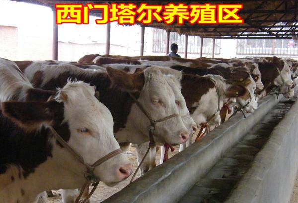 养殖西门塔尔牛