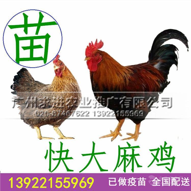 厂家批发快大麻鸡苗,麻七鸡苗/新北/陂/彼大种肉鸡,,价格优惠