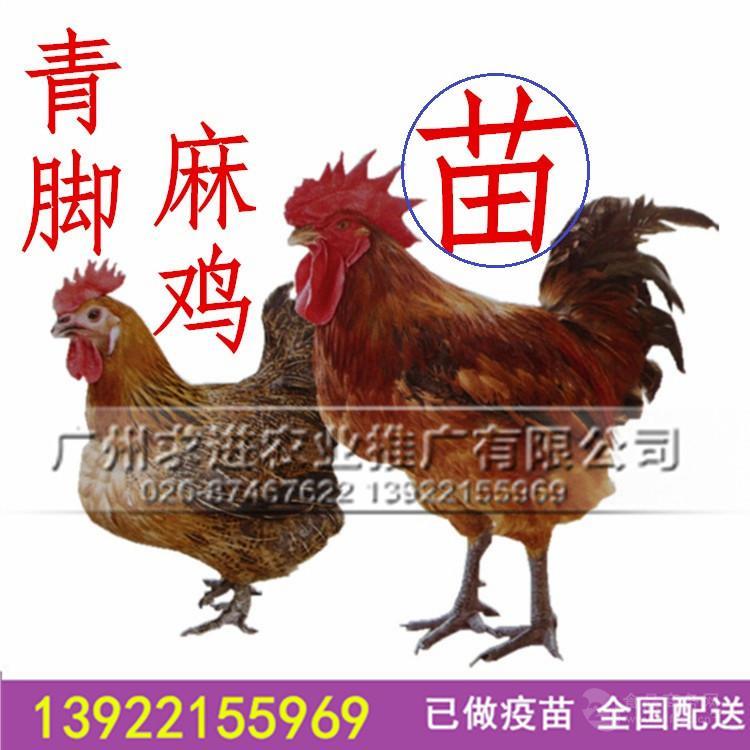 厂家批发快大青脚麻鸡苗, 长速快大肉鸡品种价格优惠全国配送