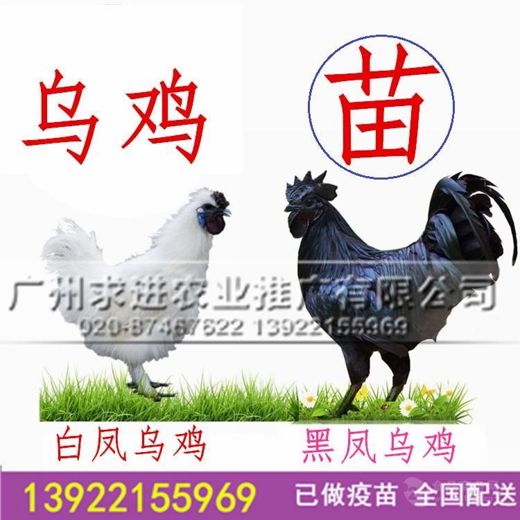 乌鸡苗供应,黑乌鸡/白乌鸡/乌骨黑肉批发价格全国配送