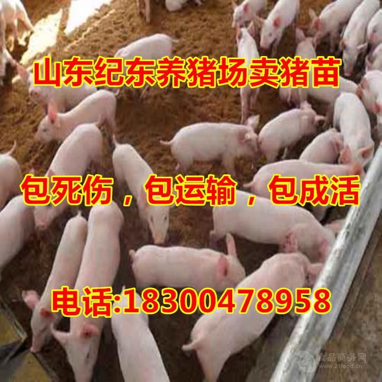 山东三元仔猪供应出售仔猪
