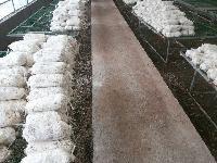 专业灵芝种植三十年供应灵芝菌棒灵芝菌种