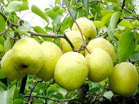 砀山酥梨 酥梨价格是多少 酥梨供应价格