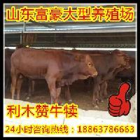湛江养牛基地