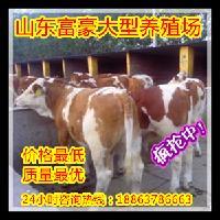 发展养牛新疆
