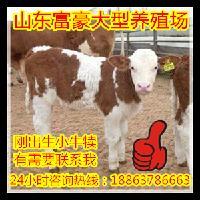 夏洛莱肉牛犊