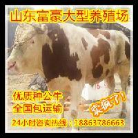 西门塔尔小公牛