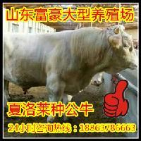 良种肉牛买卖