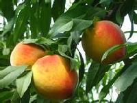 哪里的黄桃好 砀山黄桃 安徽砀山优质黄桃产地价格