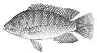 鱼胶原蛋白