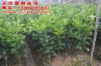 贵州三红蜜柚苗今日特价,三红柚子苗价格便宜