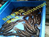 如今人工养殖娃娃鱼多少钱一斤