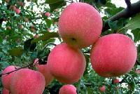 砀山富士苹果价格 富士苹果供应价格多少钱斤
