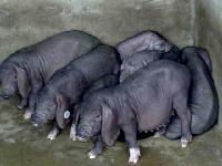 太湖母猪产仔王包防疫包运输