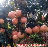 重庆哪里可以买到正宗的三红蜜柚苗,红肉蜜柚苗?