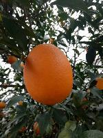 湖北臍橙/湖北秭歸臍橙/紐荷爾臍橙