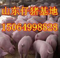 山东仔猪行情2月份仔猪价格多少?哪里小猪价格便宜