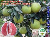 大棵红肉蜜柚挂果苗价格|红肉柚子苗