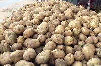 土豆直销神池土豆晋薯16号个大皮薄芽眼浅