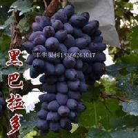 批发黑芭拉多葡萄苗早熟品种葡萄苗